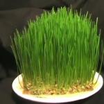 มาดู การเจริญเติบโตของต้นอ่อนข้าวสาลีกัน