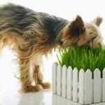 ทำไมสุนัขถึงต้องกินหญ้า?