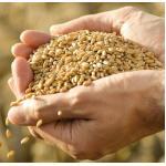 คุณประโยชน์จากข้าวสาลี (Wheat)