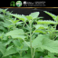 Catnip Seeds (Nepeta Cataria) เมล็ดแคทนิป โปรโมชั่น 3 แถม 1 thumbnail 4