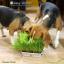 i Organic Grass™ ชุดปลูกข้าวสาลี สำหรับสัตว์เลี้ยง thumbnail 7