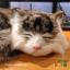 ตุ๊กตาเหมือนจริง แมวสีน้ำตาลเข้มลายเสือนอนหลับ (Pre Order) thumbnail 10