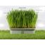 i Organic Grass ชุดปลูกข้าวสาลี สำหรับสัตว์เลี้ยง Pro2018 thumbnail 5