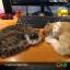 ตุ๊กตาเหมือนจริง แมวสีน้ำตาลเข้มลายเสือนอนหลับ (Pre Order) thumbnail 11