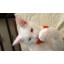 ของเล่นแมว หนูปลอมขนนุ่ม ขนาด 2 นิ้ว thumbnail 10
