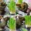 i Organic Grass™ ชุดปลูกข้าวสาลี สำหรับสัตว์เลี้ยง thumbnail 10