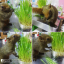 i Organic Grass ชุดปลูกข้าวสาลี สำหรับสัตว์เลี้ยง Pro 2017 thumbnail 10