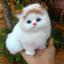 แมวเปอร์เซีย ขนาด 16x13x17cm (Pre Order) thumbnail 6