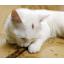 Matatabi ไม้มาทาทาบิ สำหรับแมว thumbnail 6