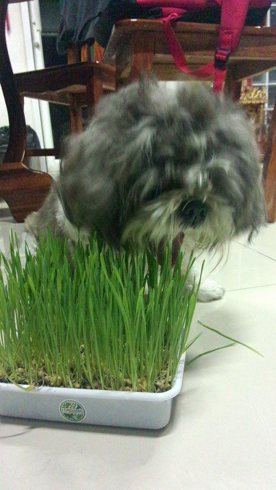 รีวิว ชุดปลูกข้าวสาลี หญ้าแมว