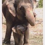 โปสการ์ด ช้างกับลูกน้อย /สัตว์ต่างๆ