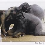 โปสการ์ด ช้างเล่นน้ำ /สัตว์ต่างๆ