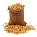 เมล็ดข้าวสาลี ปลอดสารพิษ 1 กระสอบ (25kg)