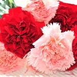"""""""คาร์เนชั่น...ดอกไม้แห่งความรักและการเฉลิมฉลองแสดงความยินดี"""""""
